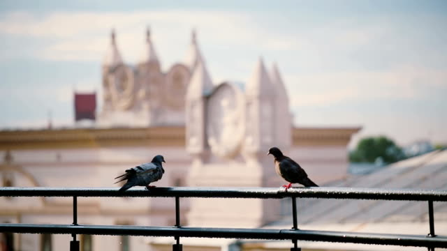 Birds sitting on a roof parapet in sunny day. View to the Minsk city. Pigeons fly on a roof video