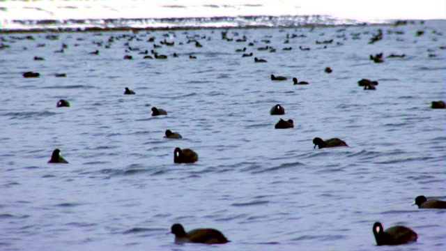 Birds sitting on lake with hills covered in snow video