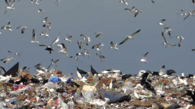 Birds Swarming Over A Landfill video