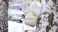 birds titmouse eat from feeders in the winter in the snowfall video