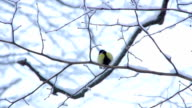 Birds Tits in winter forest video