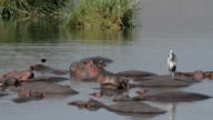 birds walk on hippos in water video