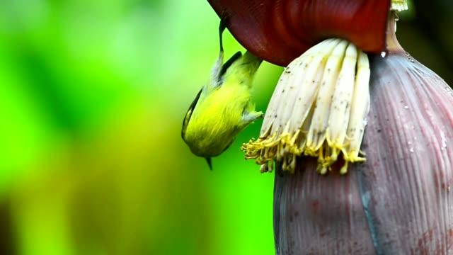 Bird,sunbird female perching on banana flower eating sweet. video