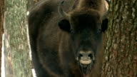 Bison and breath video