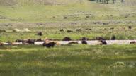 Bison and herd in Lamar video