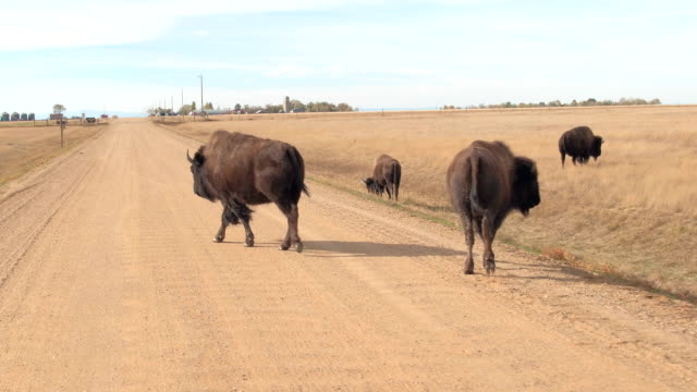 Bison buffalos grazing on dry grass along the dirt road through sunny prairie video