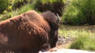 Bison - close video