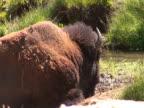 NTSC: Bison - close video