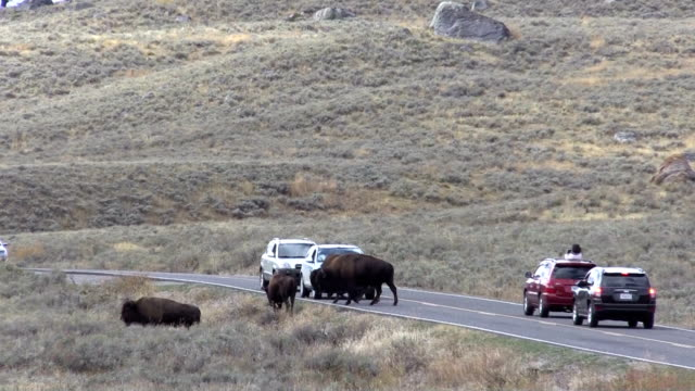 Bison Crossing road video