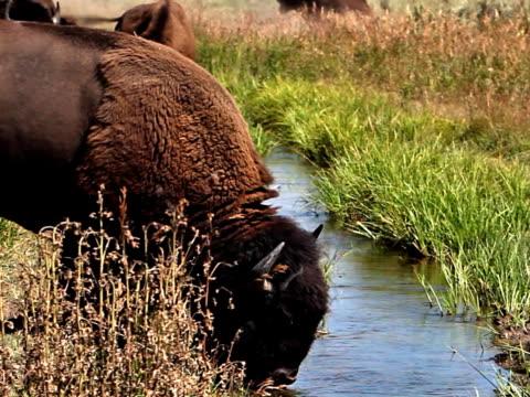 Bison Drinking video