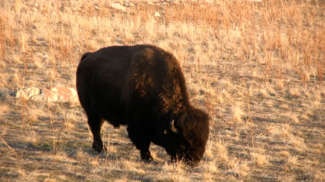 Bison feeding 24fps video