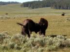 NTSC: Bison fighting video