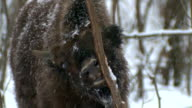 Bison gnawing bark 2 video