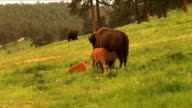 Bison Grazing on Spring Grass Ranchland with Nursing Calves video