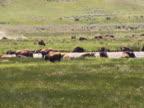 NTSC: Bison herd video