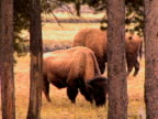 Bison in the Snow, Yellowstone video