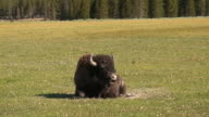 Bison in Yellowstone video