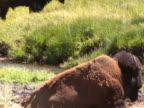 NTSC: Bison pooping video