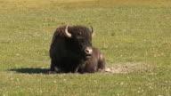 Bison ruminating video