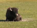 PAL: Bison ruminating video