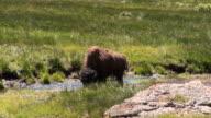 Bison - Soda Butte video