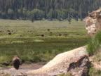 NTSC: Bison video