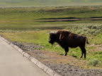 NTSC: Bison walking to road video