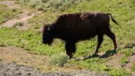 Bison walking video