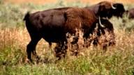 Bison walking-HD video