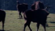 Bisons attacks deer video
