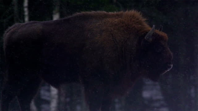 Bisons in the forest video
