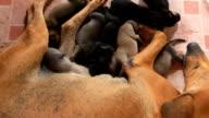 Bitch nursing puppies video