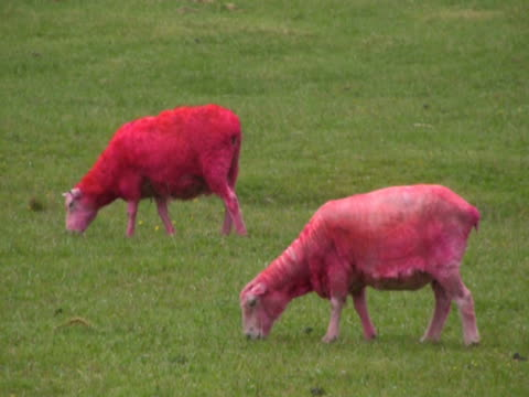 Bizarre: Pink Sheep Eats and Defecates, Poops video