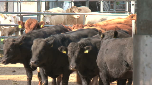 Black and brown bulls in the paddock video