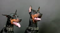black and brown doberman pinschers sitting and breathing hard on dark background after plying video