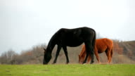 Black And Brown Horses Grazing In Field video