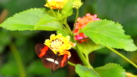 4K Black and Red Butterfly on Tropical Flower video