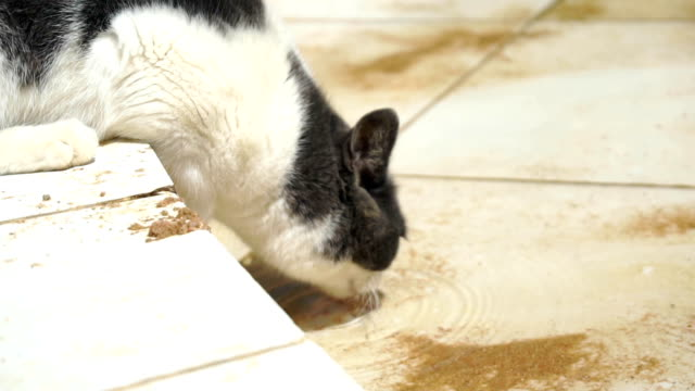 black and white cat drinks water video
