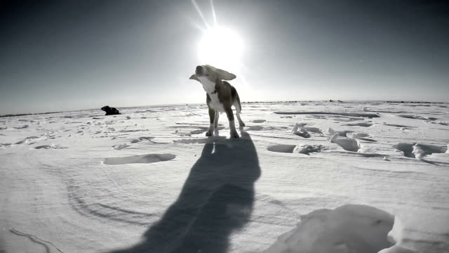 Black and white footage: cheerful dog runs across the snowy field and barks video