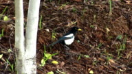 Black And White Magpie Walking And Taking Off video