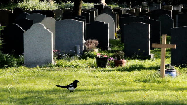 Black and White Magpie walks past grave stones in churchyard video