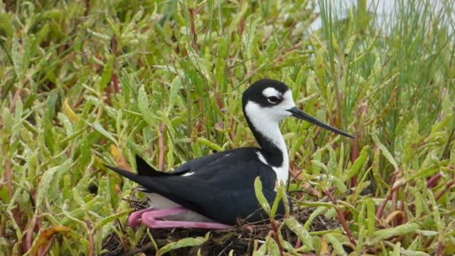 Black and White Wading Bird With Long Pink Legs, on Her Nest in a Wetland video
