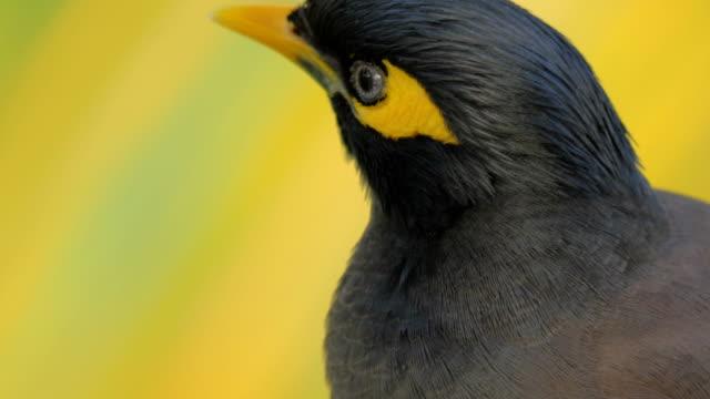 Black and yellow mynah bird video