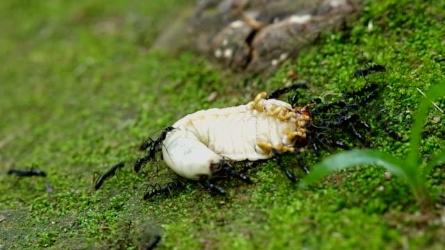 black ant hunt beetle larva video