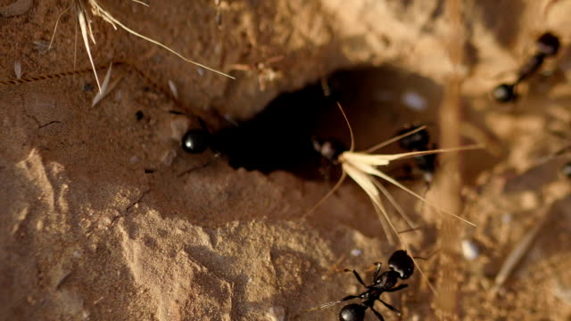 black ants close-up on sand video