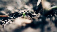 Black ants crawl on loose ground. Macro photography. video