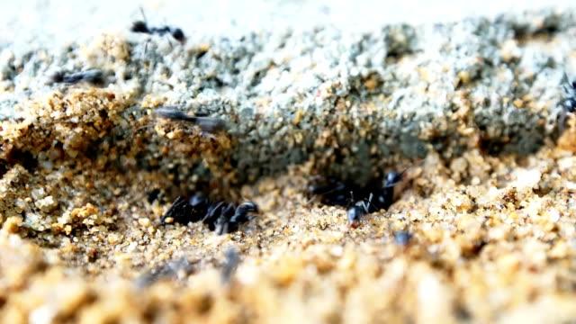 Black ants nest video