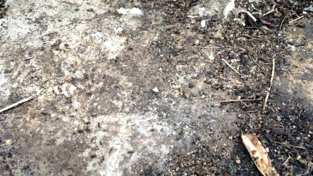 Black ants video