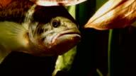 Black Bass. Persico Trota. video