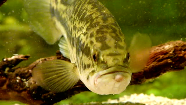 Black Bass video